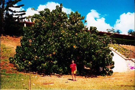 Jade Stokes visits the Kamehameha Tree of Peace, 1998.
