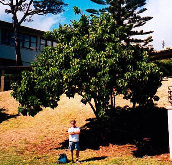 John Stokes with Kamehameha Schools Tree of Peace, O'ahu, 2002.