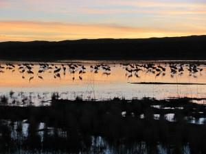 Sandhill cranes who winter in the Bosque del Apache